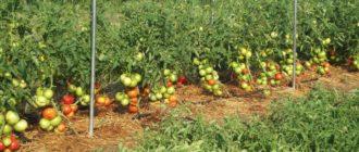 Томаты растут в открытом грунте