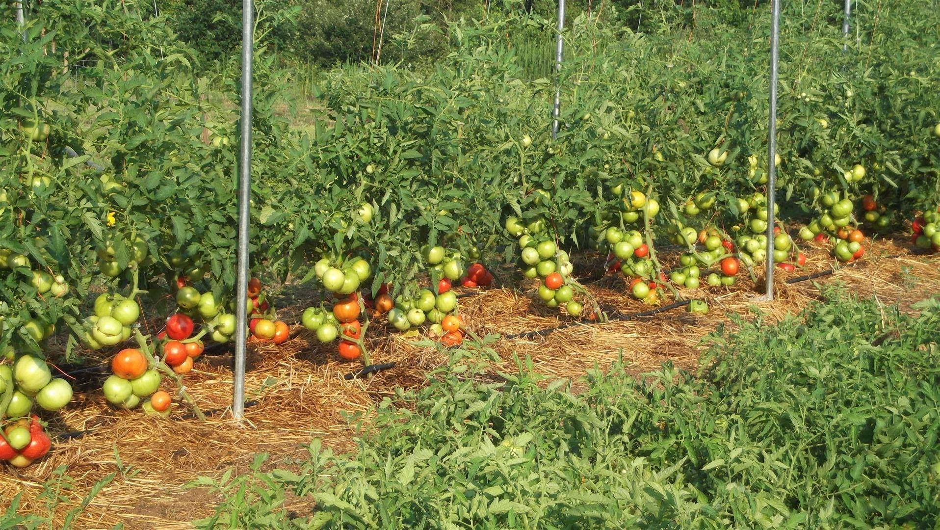 Сыворотка и йод для помидор