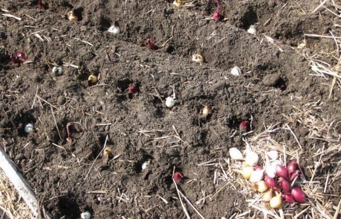 Луковицв посажены в почву
