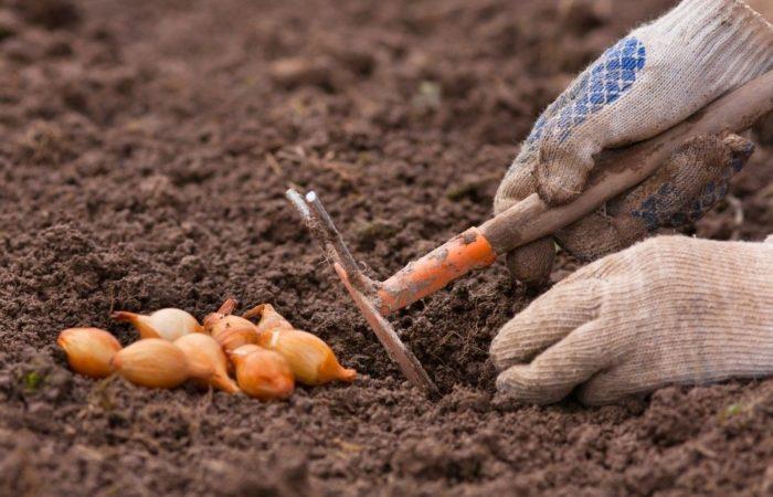 Подготовка почвы для посадки лука