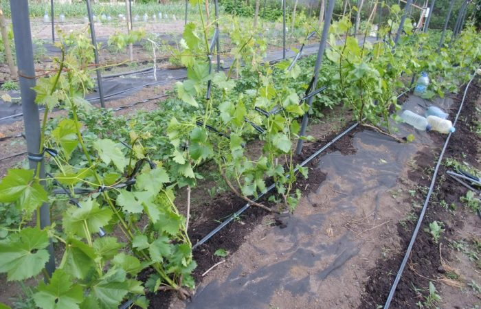 Кусты винограда в грунте