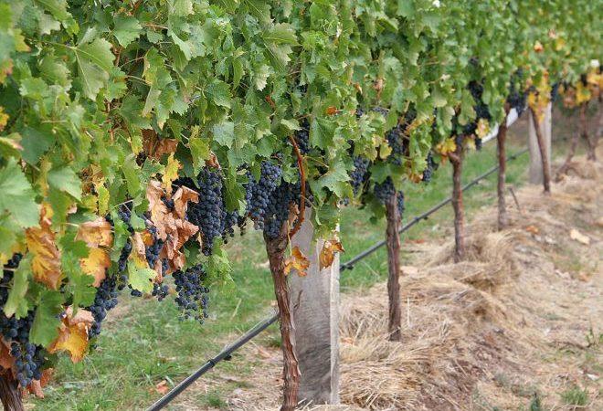 Черный виноград посажен на одинаковом расстоянии