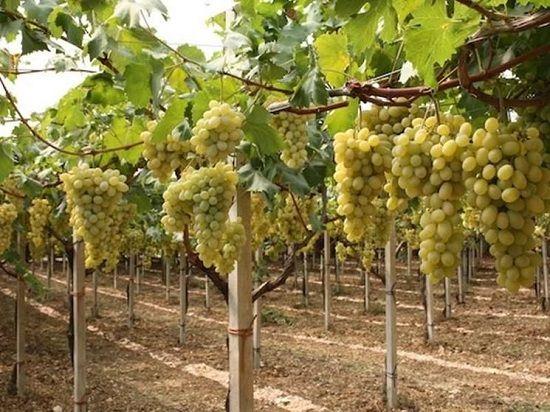 Лоза белого винограда