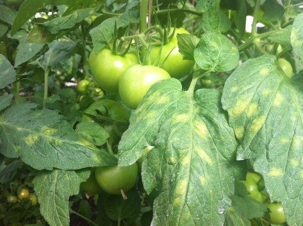 Листья томата с желтыми пятнами