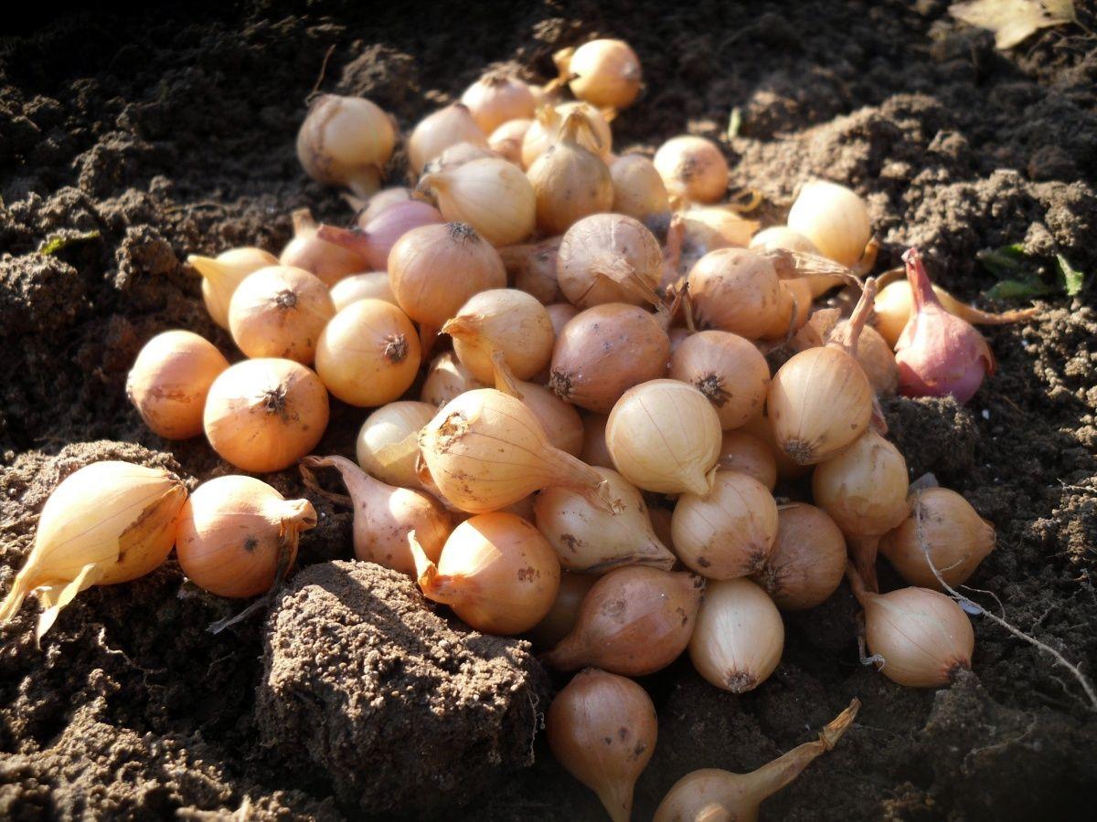 Как проводится посадка лука чернушки под зиму