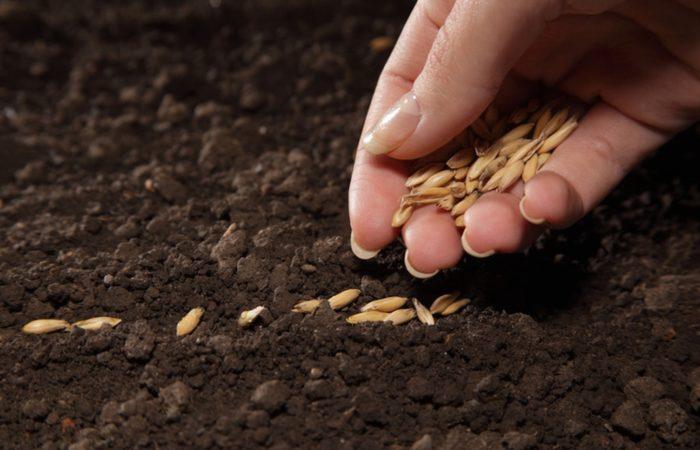 Семена огурца Syngenta®