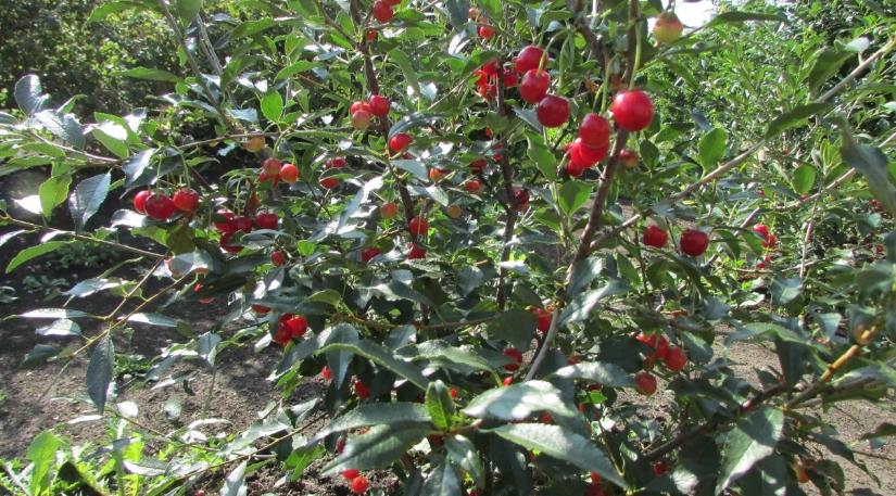 Сорта вишни, устойчивые к коккомикозу и монилиозу для Подмосковья