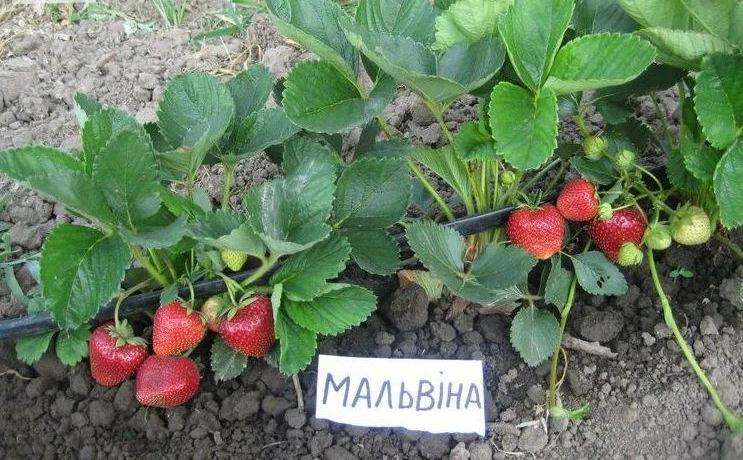 Лучшие сорта клубники средней полосы России