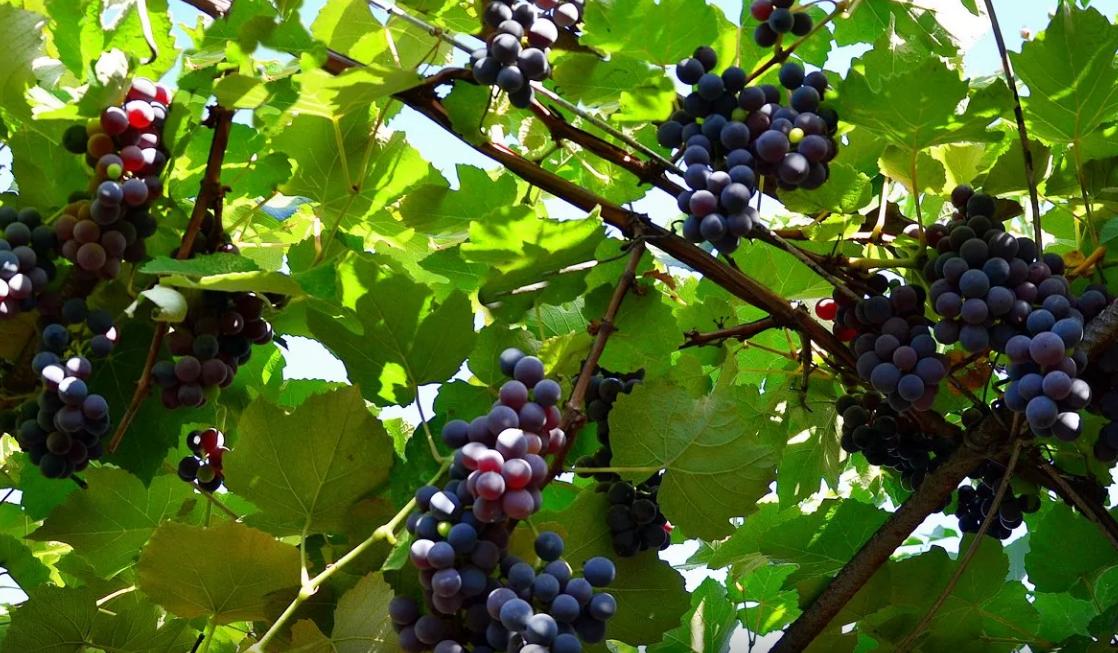 Сорта неукрывного винограда для Подмосковья