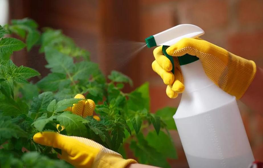 Фитофтора на помидорах: признаки, лечение и профилактика
