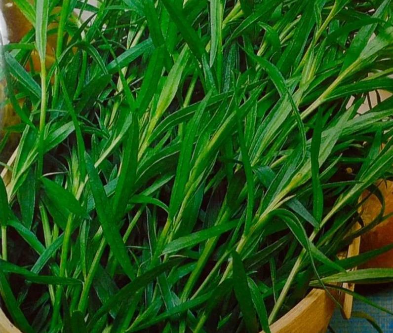 Этапы выращивания эстрагона из семян: выбор сортов, подготовка, посадка, уход