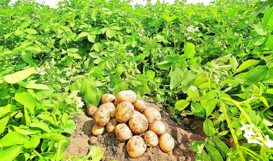 Эффективная борьба с колорадским жуком на картофеле