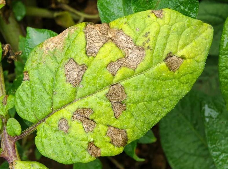 Заболевания картофеля и методы борьбы с ними