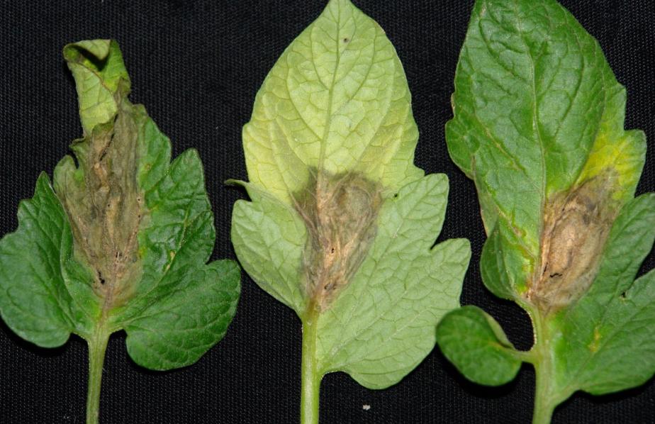 Заболевания рассады помидор: описание с фото