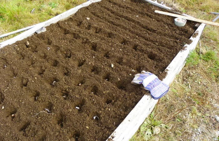 Как подготовить чеснок перед осенней посадкой и высадить в открытый грунт
