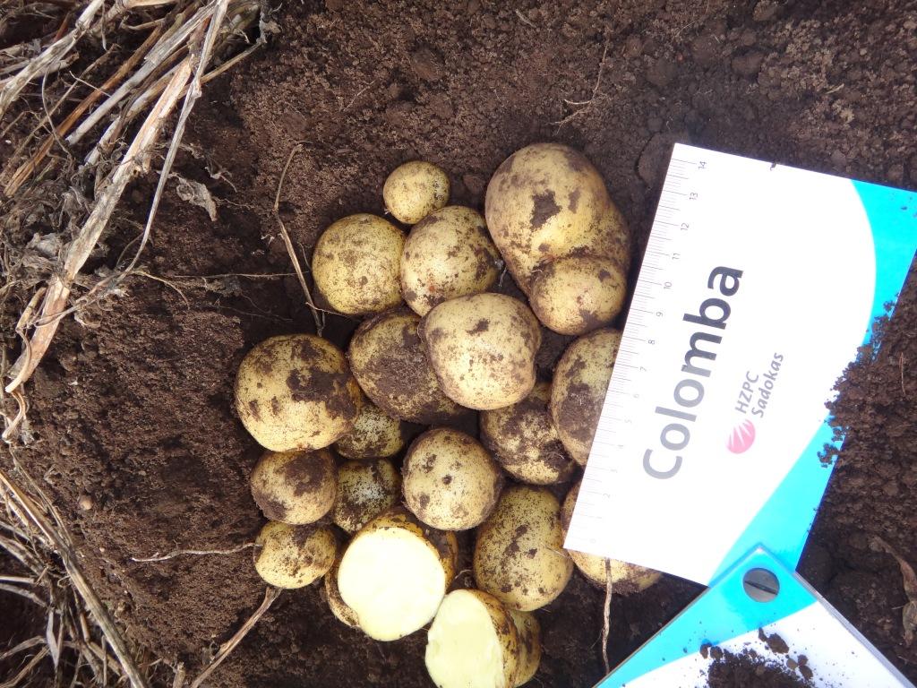 Картофель «Коломбо»: описание, характеристики и особенности