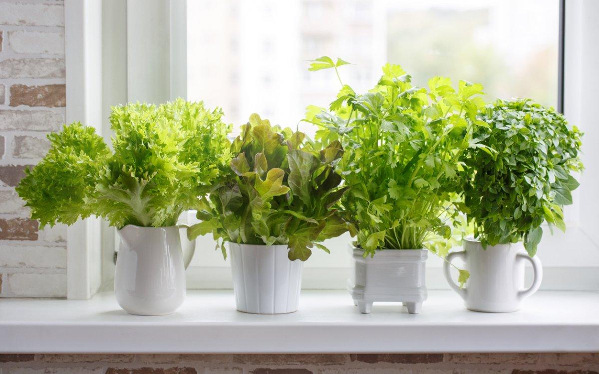 Зелень на подоконнике зимой: как и какую зелень можно вырастить, посадка, уход