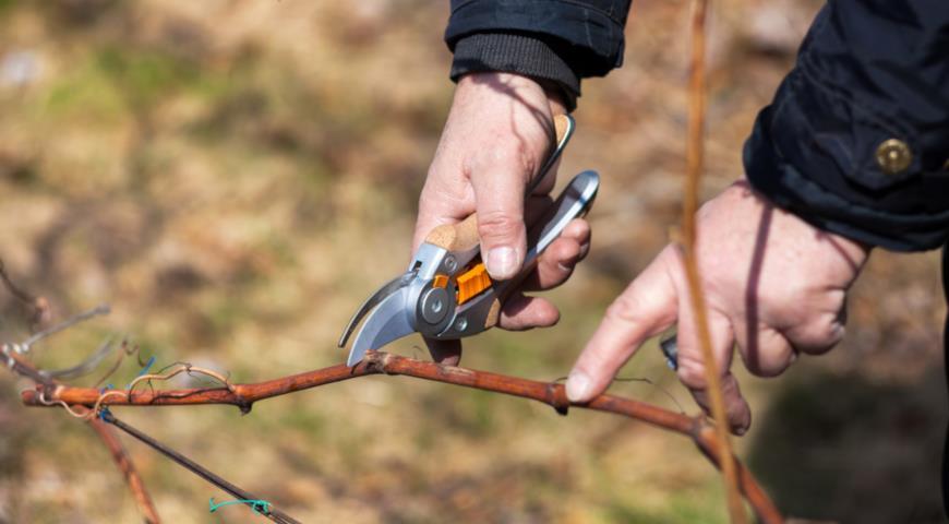 Обрезка винограда зимой: особенности и полезные советы