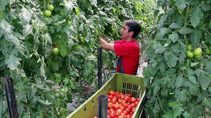 Томат «Любаша»: описание и урожайность сорта