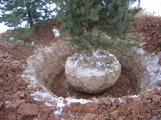 Пересадка деревьев в зимний период:  особенности и советы