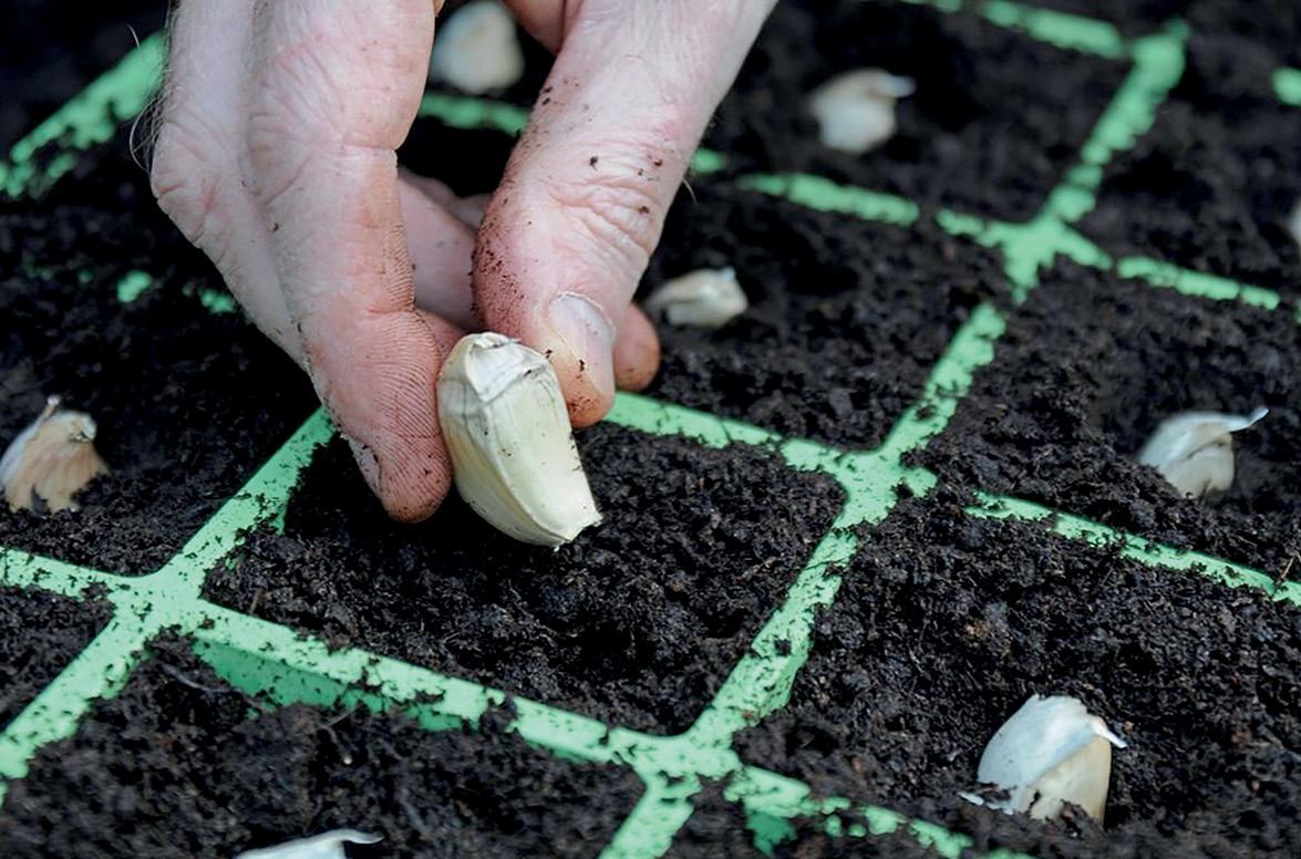 Можно ли сажать чеснок  зимой: сроки, подготовка, посадка