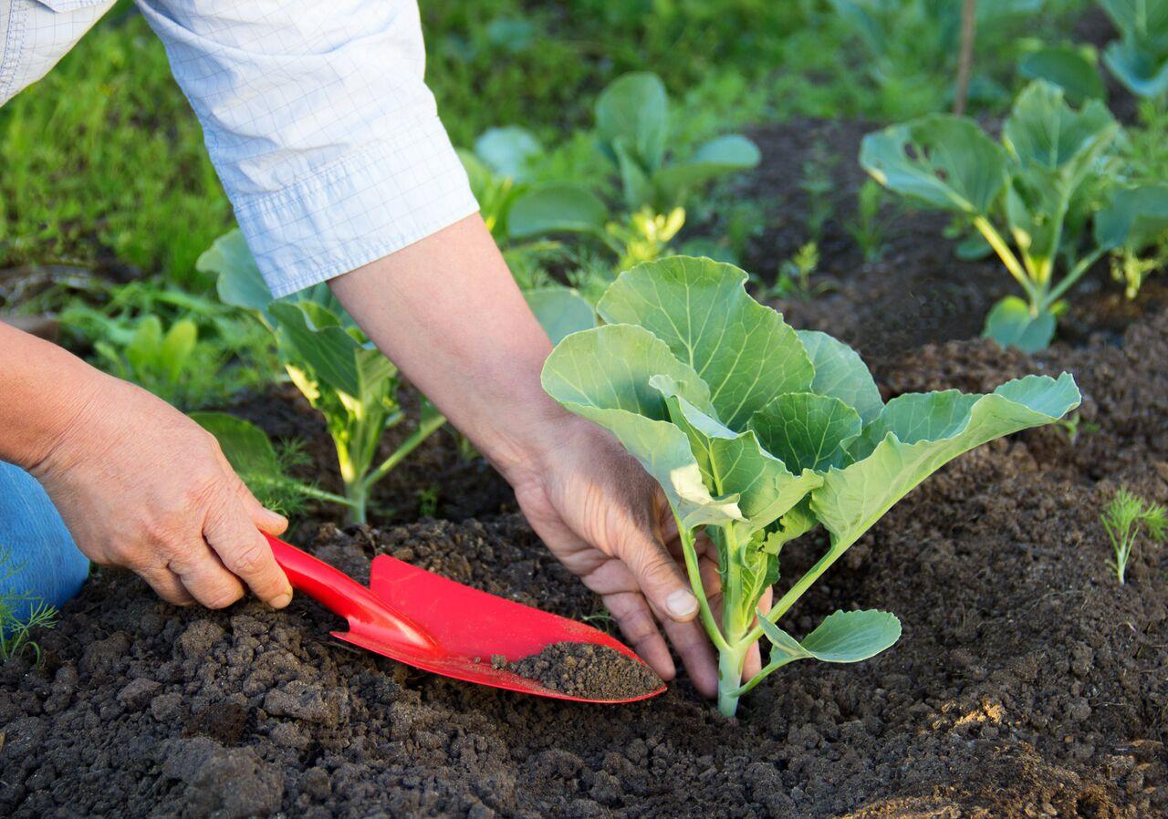 Капуста «Валентина»: характеристика сорта, правила выращивания